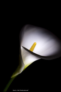 a calla lily on a black background