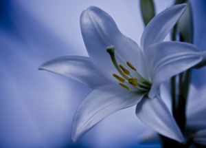 this image shows a very beautiful lilly