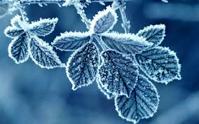 this image shows frozen leaves