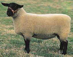 this image shows a suffolk sheep